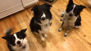 The Pearson Border Collies: Skye, Angus and Kolby